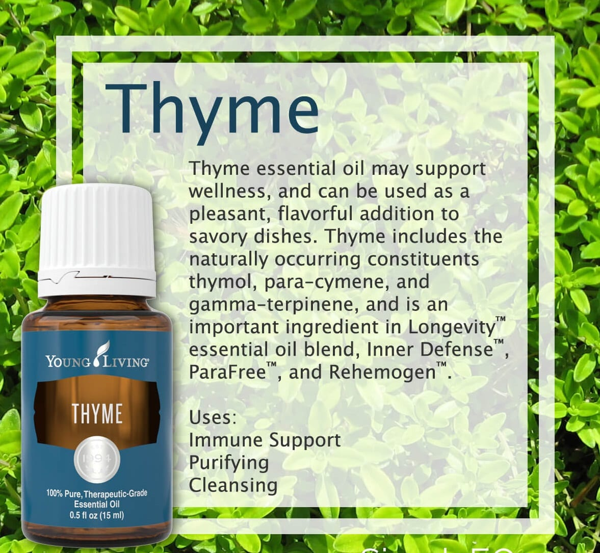 Thyme Essential Oil 3650 Spicy Warm Herbaceous Aromagf Oils Com