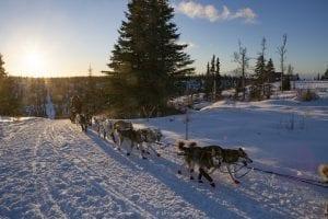 Iditarod-dogs 2017