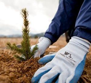 Farm Hands Planting a Conifer Tree