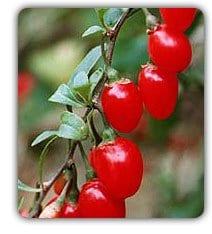 Wolfberry Vine