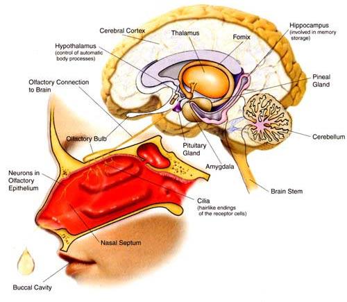 Olfactory Diagram